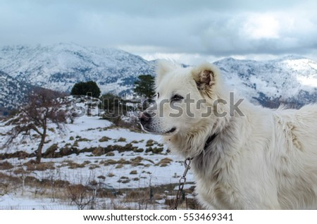 A beautiful white dog is standing in a winter snowy mountain somewhere in Crete.
