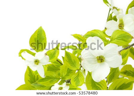 A beautiful white dogwood branch on a white background - stock photo