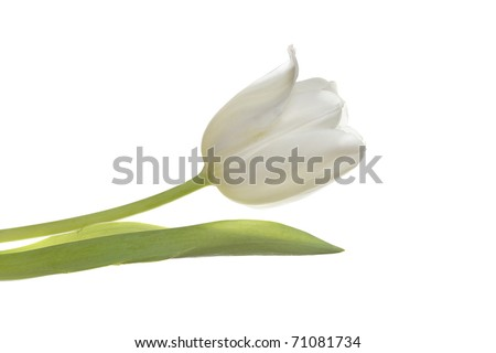 a beautiful white easter spring tulip isolated on white - stock photo