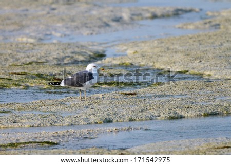A beautiful white headed seagull during low tide - stock photo