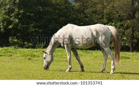 A beautiful white horse feeding in a green pasture - stock photo