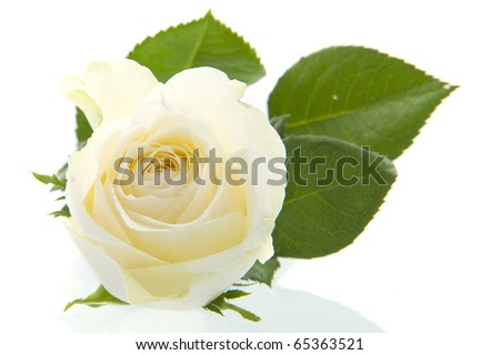 A beautiful white rose on a white background