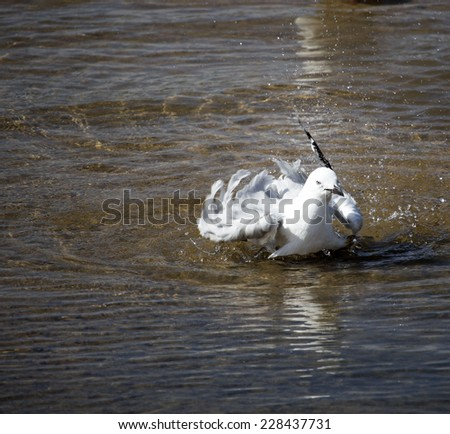 A  beautiful white seagull  is splashing  around flapping its wings  in the  crystal  clear waters of the  Leschenault Estuary in Bunbury western Australia on a fine sunny  spring afternoon.