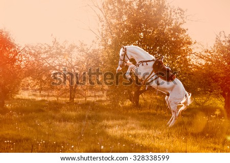 A beautiful white stallion stands on its hind legs in sunset light on blurred background. Conboy takes the trick of the commando in the saddle and bridle. - stock photo