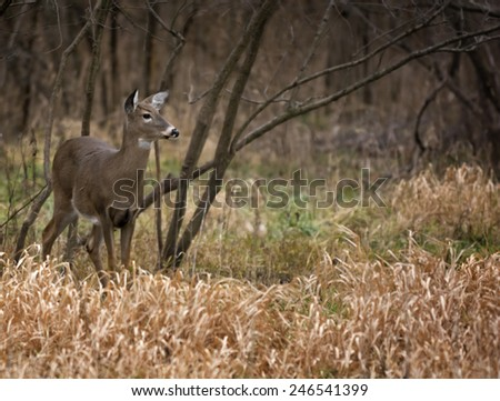 A beautiful white tailed deer doe standing alert in the woods. - stock photo