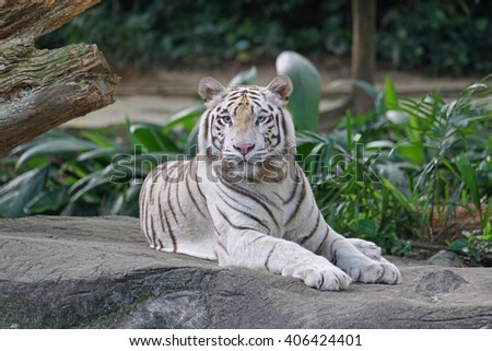 A beautiful white tiger with blue eyes sits as if in a pose for a shot. White tigers are unusual and very different from the more known orange tigers. - stock photo