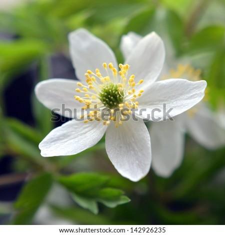 A beautiful wood anemone - stock photo