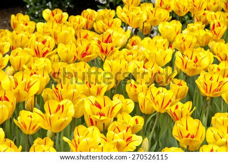 A beautiful yellow and red spring tulip full frame background