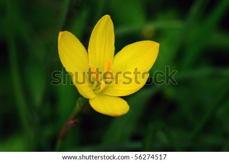 A beautiful yellow rain lily against a green background - stock photo