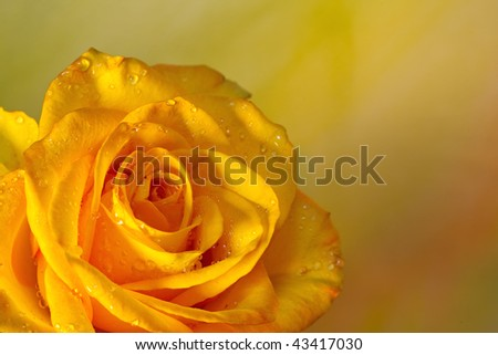 A beautiful yellow rose against a soft pastel watercolor background. Room for copy on the right. - stock photo