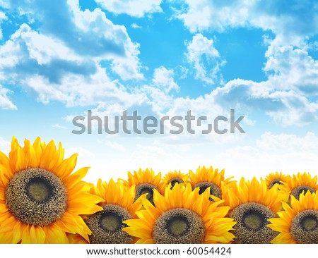 A beautiful yellow sunflower field with bright blue clouds in the sky. Add your text to the copyspace. Use it for a nature, environment or flower concept background. - stock photo