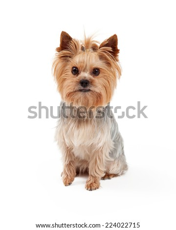 A beautiful Yorkshire Terrier dog sitting and looking directly into the camera. - stock photo