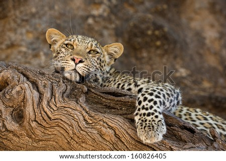 A beautiful young leopard cub resting on the branch of a large tree looking at the camera with its paw dangling down - stock photo