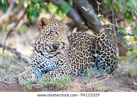 A beautiful young male leopard lying on the edge of a riverbed in Botswana