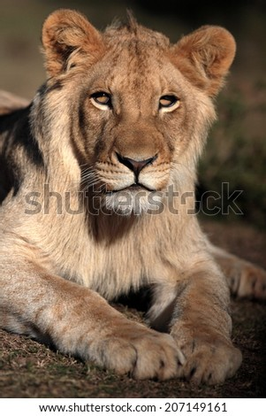 A beautiful young male lion in golden light.