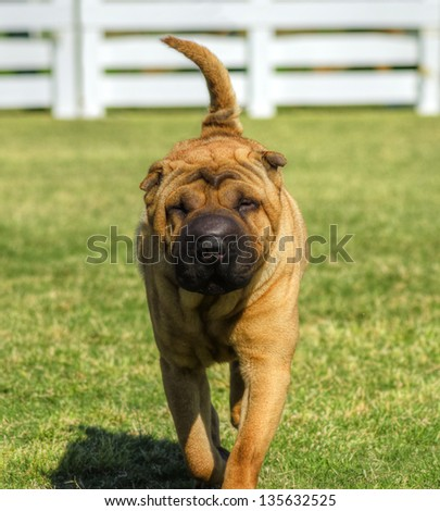 A beautiful, young red fawn Chinese Shar Pei dog walking on the lawn, distinctive for its deep wrinkles and considerd to be a very rare breed - stock photo
