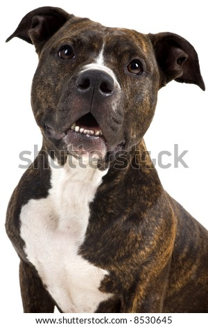 a beautifull american staffordshire terrier with great structure - stock photo