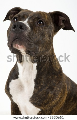 a beautifull american staffordshire terrier with great structure