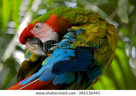 a beautifull Hybrid macaw in costa rica central america