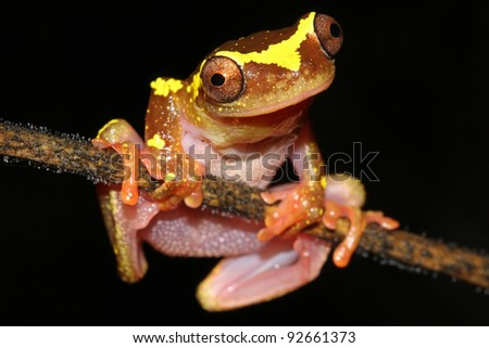 A beautifully vibrant pink and yellow Sarayacu Treefrog (Dendropsophus sarayacuensis) in the Peruvian Amazon