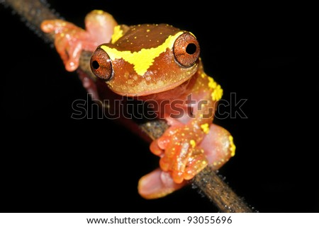 A beautifully vibrant pink and yellow Sarayacu Treefrog (Dendropsophus sarayacuensis) in the Peruvian Amazon Isolated on black with plenty of space for text - stock photo