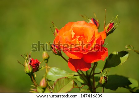 A beauty of flowers - red rose.                      - stock photo