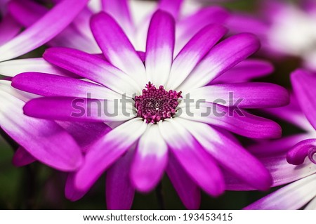 A bed of magenta and white osteosperumum daisies growing in the garden