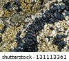A Bed of Sea Anemones at  the Beach at Ecola State Park on the Oregon Coast USA - stock photo