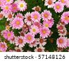 A bed of wild, pink marguerites seen from straight above - stock photo