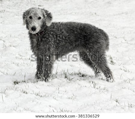 A Bedlington Terrier, stands in snow