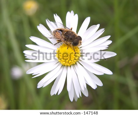 A bee and a daisy - stock photo