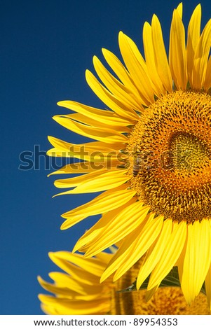 A bee busy at work on a huge sunflower in a field in summer.