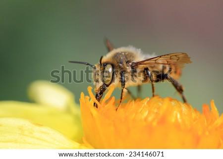 a bee collect pollen, macro shooting, Russia - stock photo