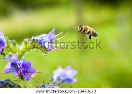 A bee collecting honey on blue flower - stock photo
