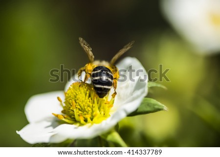 a bee collecting nectar on a white flower