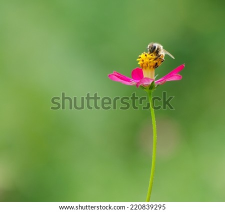 A bee collecting nectar on purple cosmos flower with green background.