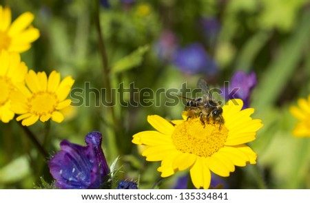 a bee collecting polen. - stock photo