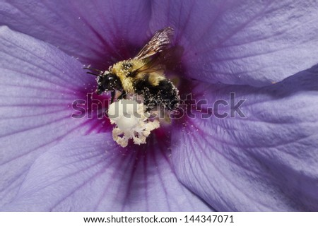 A bee collecting pollen from a Rose of Sharon flower - stock photo