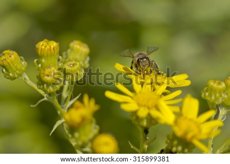 a bee collecting pollen on some wild flowers in bright sunlight - stock photo