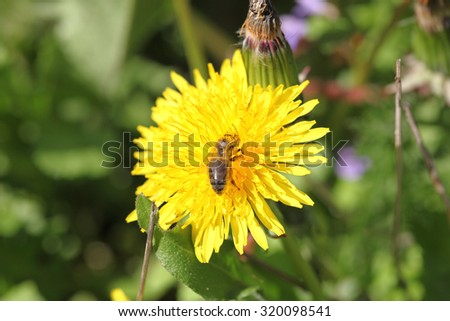 A bee collects nectar on a dandelion - stock photo