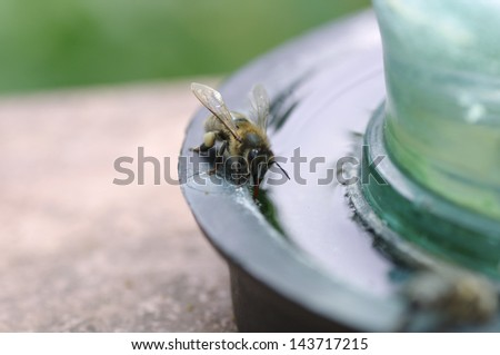 a bee drinking water - stock photo