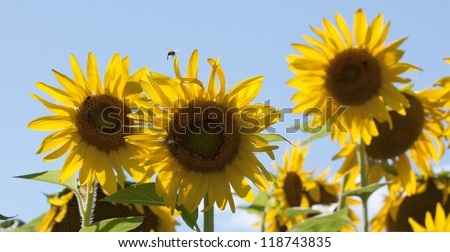 A bee flying around a group of yellow sunflowers (Helianthus annuus) with a blue sky background. - stock photo