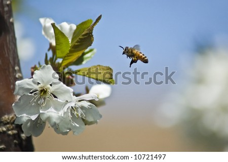 A bee gathers pollen from a cherry tree. - stock photo