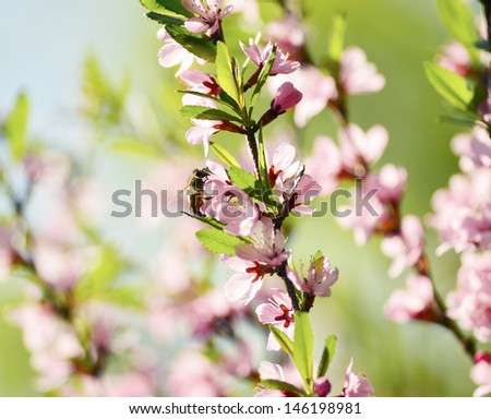 A bee gathers pollen from a spring flower - stock photo
