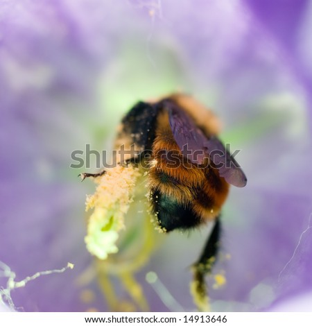 A bee inside a blue flower, collecting pollen