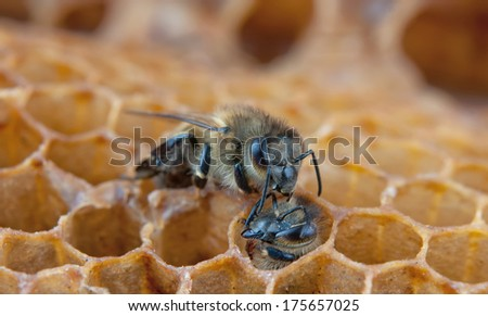 a bee looks after a young bee - stock photo