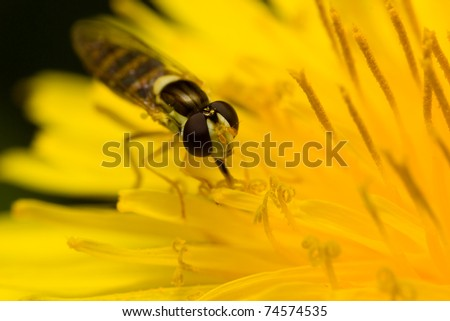 A bee mimic syrphid fly resting on a dandelion flower