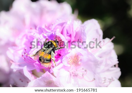 A bee on a flower in summertime. Colour falls away from the bee - stock photo