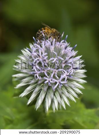 A bee on a globe thistle, thornbush flower head. Echinops. - stock photo