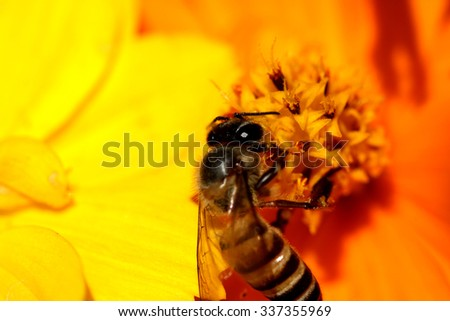 A bee on cosmos flower